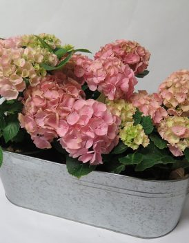 potted hydrangea plants